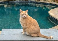 Amazing 18 Pound Tangerine Tabby For Private Adoption in LA 4