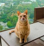Amazing 18 Pound Tangerine Tabby For Private Adoption in LA 2