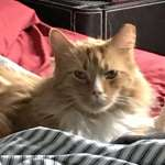 Orange Tabby Cats For Private Adoption