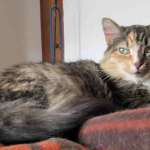 Calico Cats For Private Adoption