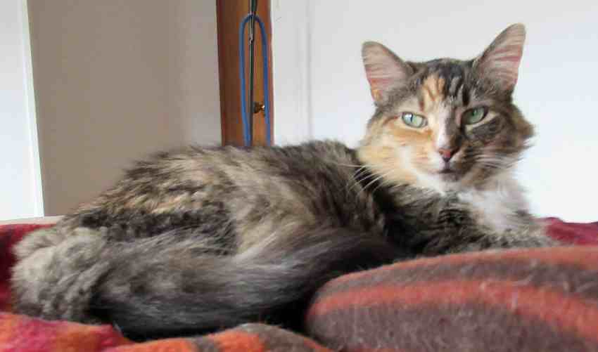 Michelle Long Haired Maine Coon Calico Mix Cat For Adoption Mt Bethel Pa