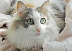 Beautiful Ragamuffin Cat