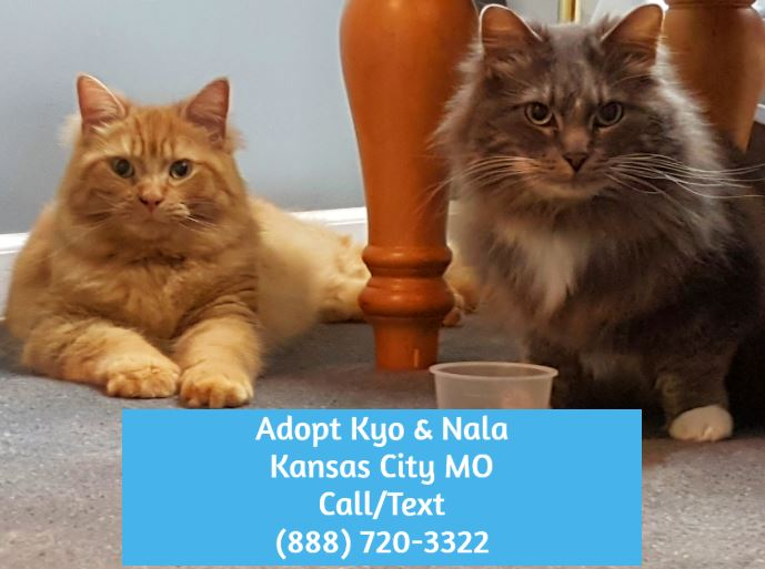 Maine Coon Cats For Private Adoption Near Kansas City MO